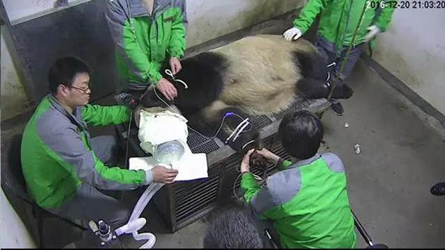 熊猫母子染病去世 被爆出曾生病还继续展出